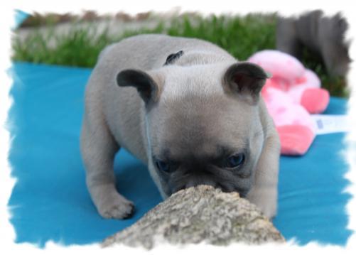 Bully Traum Französische Bulldoggen Welpen Züchter Berlin